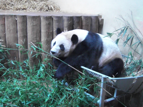 Yang Guang gets through 55kg of bamboo every day, almost double what Tian Tian eats. £70,000 of bamboo will be eaten by the pair in a year.