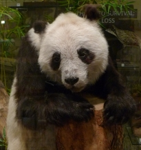 Sadly, Ching Ching died before she had any cubs.