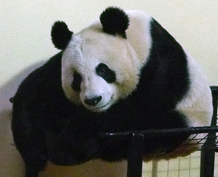 Tian Tian staying out of the rain in her new home.