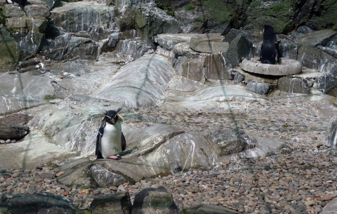 Rockhopper Penguin (Eudyptes moseleyi)
