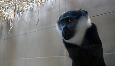 Diana Monkey (Cercopithecus diana diana)